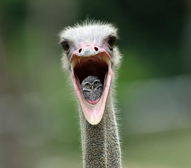 Polluelo del búho moteado - foto de stock