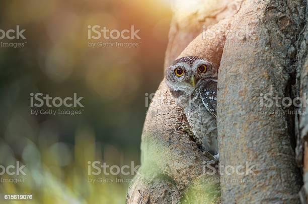 Spotted owlet picture id615619076?b=1&k=6&m=615619076&s=612x612&h=8suzym0la vjl7mbnmzd4jru6jbbkfzocglsjgvdan8=
