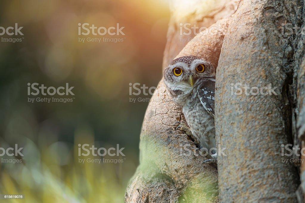 Spotted owlet(Athene brama) stock photo