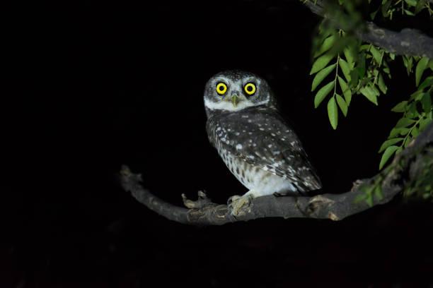 Spotted owlet picture id818207108?b=1&k=6&m=818207108&s=612x612&w=0&h= be5ppi  0nizy9dyryzx9blyoflog us6jjarojyb0=