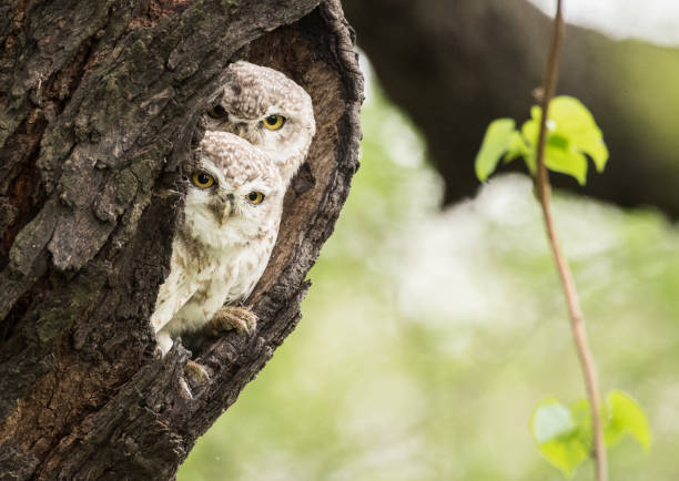 Spotted owlet picture id939268856?b=1&k=6&m=939268856&s=612x612&w=0&h=qn0ovjm kcypxyib9lzgeiez4d88d2e7cuoa4yfiin8=