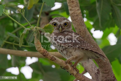 Spotted Owlet sitting on a branch