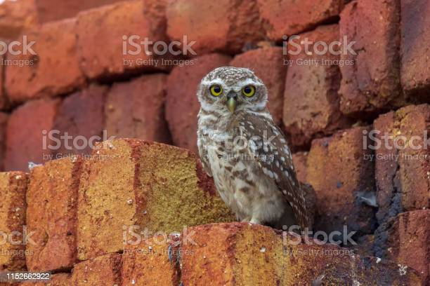 Spotted owlet sitting on the brick picture id1152662922?b=1&k=6&m=1152662922&s=612x612&h=jflblibv3fjnbvoswl7jwhiefbdzexmwiuh3dmso1cy=