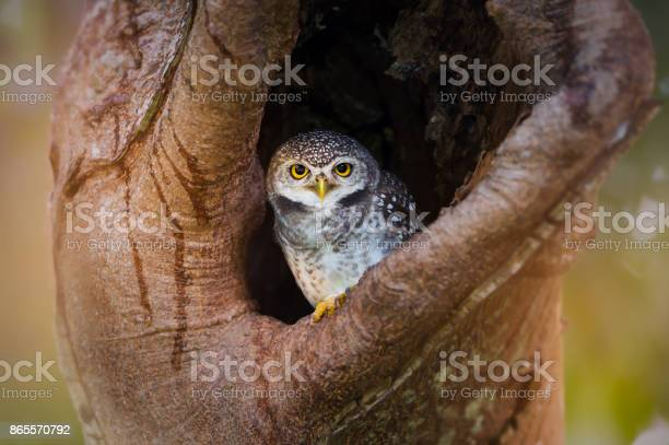 Spotted owlet waking up in hollow tree nest looking at the camera picture id865570792?b=1&k=6&m=865570792&s=612x612&h=10xozb7rb2uo5fpmsz8 ohk6rgqql8fukkz9wlju9km=