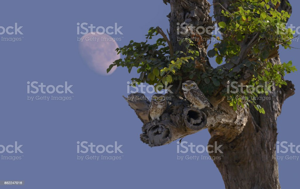 Spotted owlets. stock photo