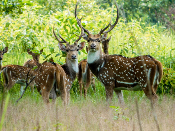 Spotted Spotted spotted deer in Chitwan National Park, Nepal axis deer stock pictures, royalty-free photos & images
