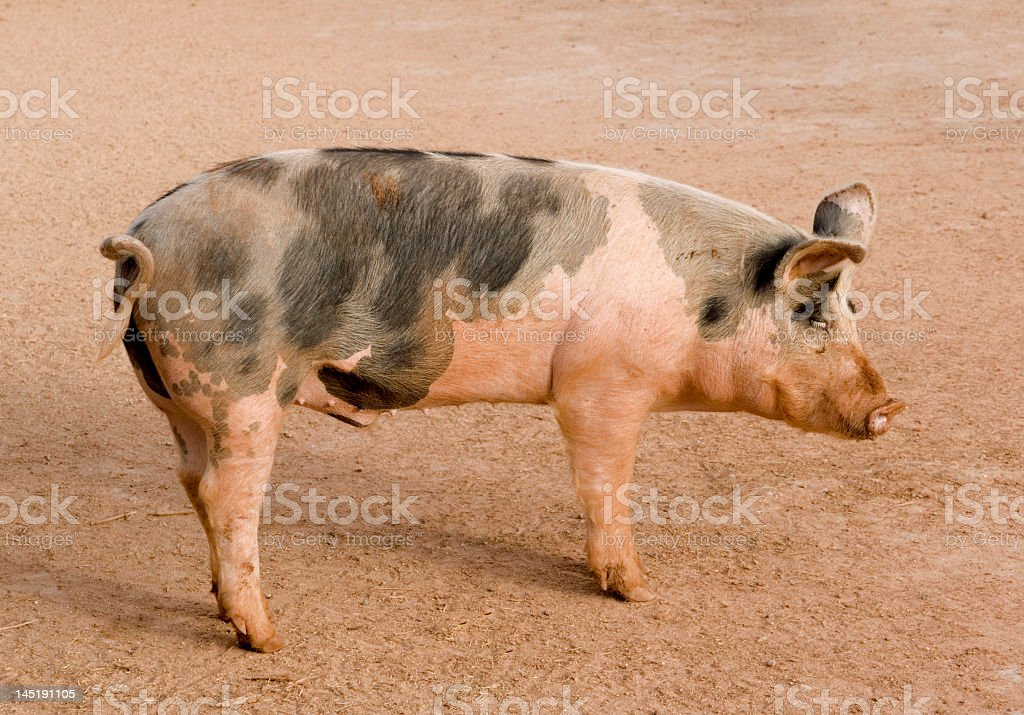 Spotted Pig royalty-free stock photo