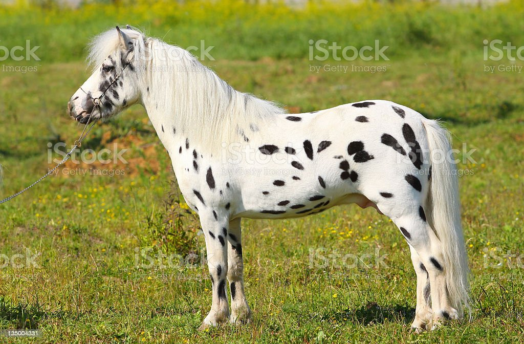 spotted pony stock photo