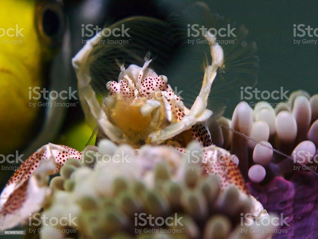 Spotted porcelain crab, Porzellankrabbe (Neopetrolisthes maculatus) stock photo