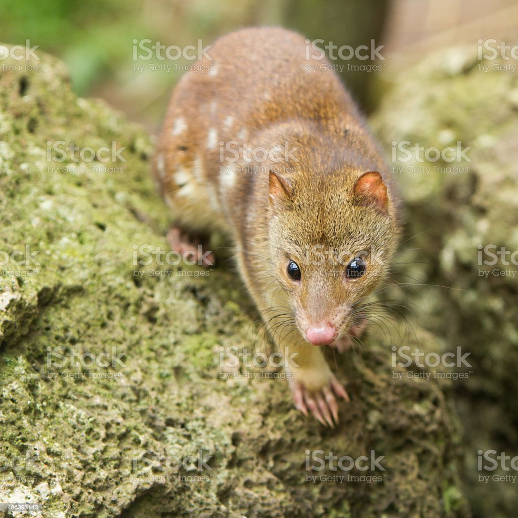 Spotted Quoll royalty-free stock photo