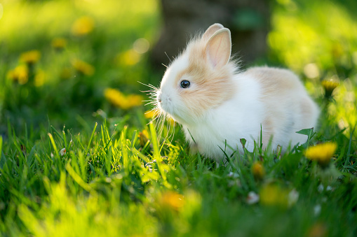 Spotted rabbit in sunlight at the green grass on the garden. Closeup pet.