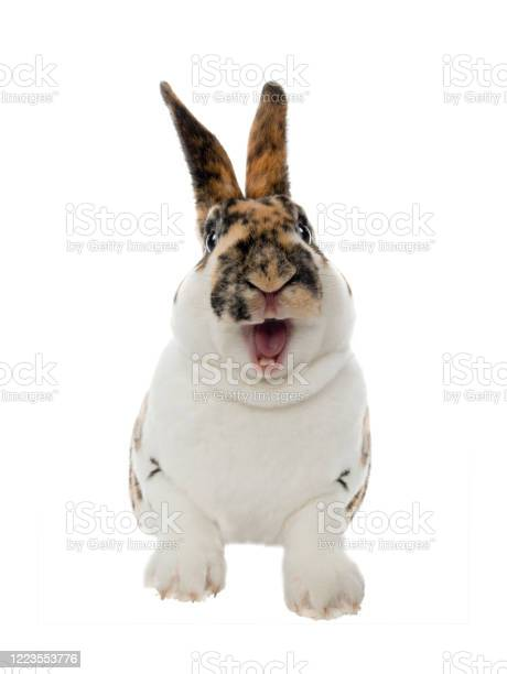 Spotted rabbit smiles with open mouth and teeth isolated on a white picture id1223553776?b=1&k=6&m=1223553776&s=612x612&h=1dynd x qlihada9yi455dvoilcgsevb7ik zuerqaa=