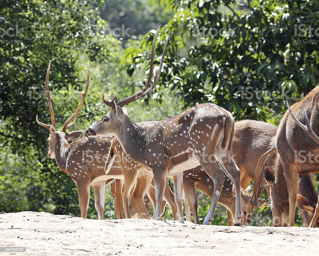 spotted  & sambar deer in a forest stock photo