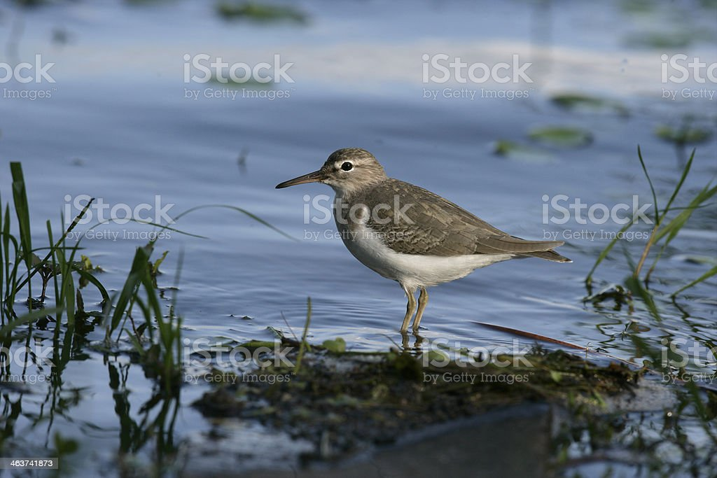 Spotted sandpiper, Actitis macularis stock photo