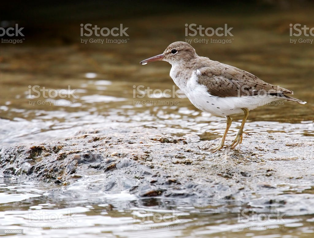 Spotted Sandpiper royalty-free stock photo