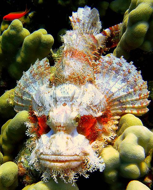 gepunktete drachenkopf (scorpaena plumieri) – devil fisch - flecktarn stock-fotos und bilder