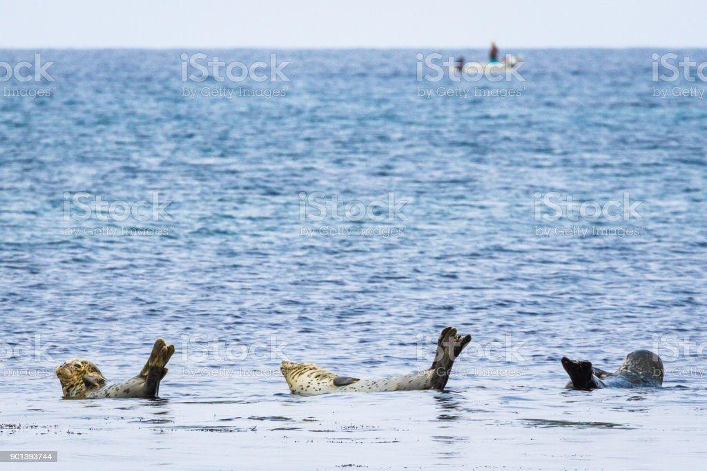 Spotted Seals and Fishing Boat, Rebun Island, Japan stock photo