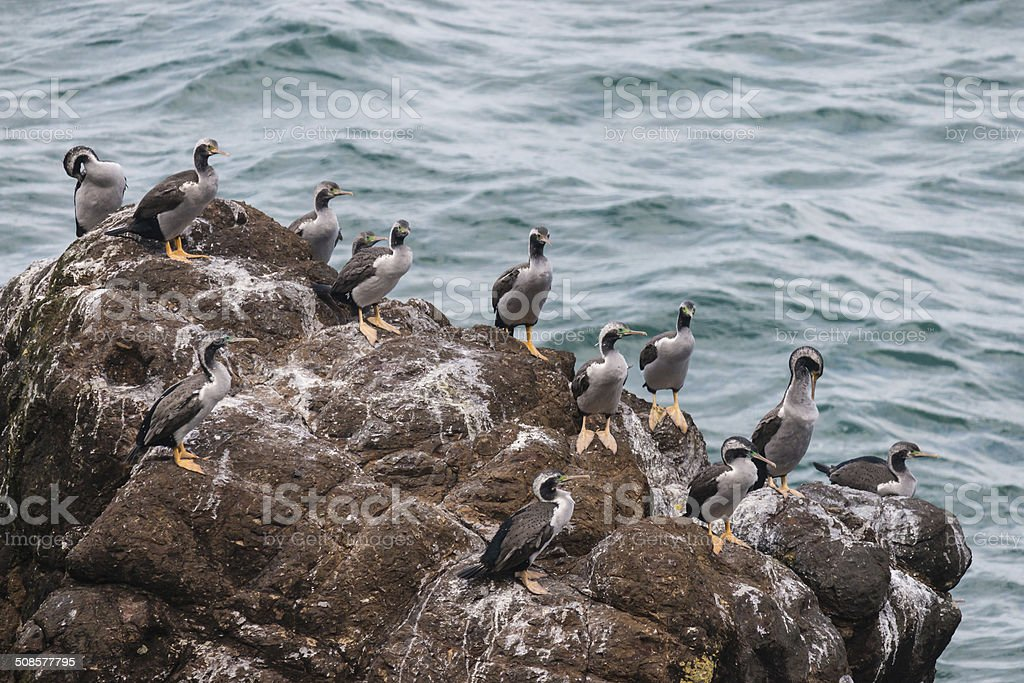 spotted shags colony royalty-free stock photo