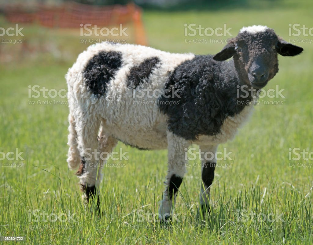 Spotted sheep stock photo