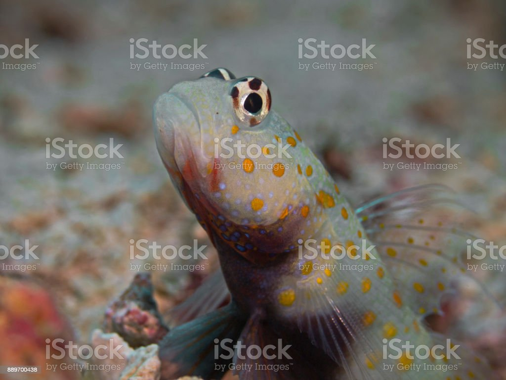 Spotted shrimpgoby (Amblyeleotris guttata) stock photo