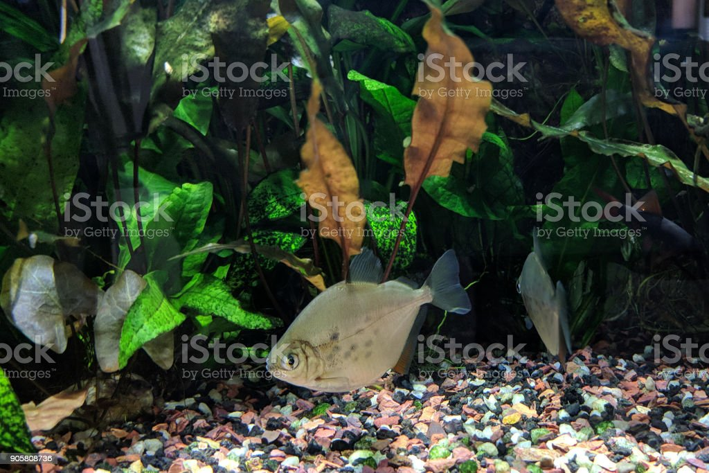 Spotted Silver Dollar Fish stock photo