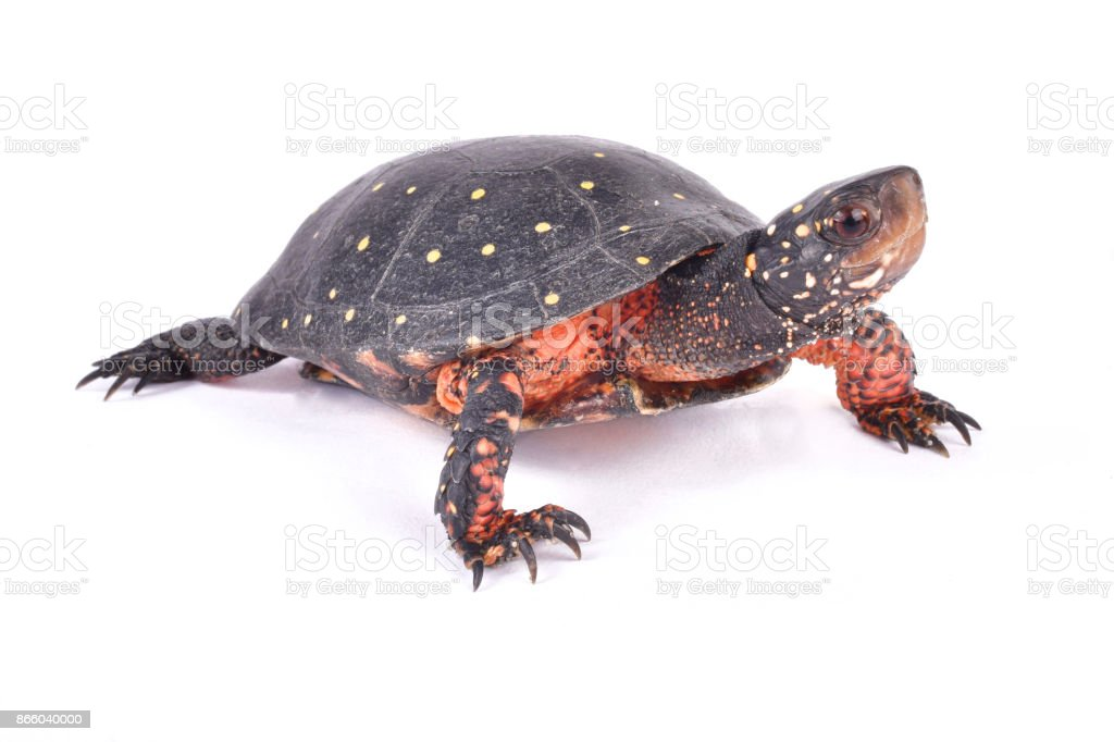 Spotted turtle, Clemmys guttata stock photo