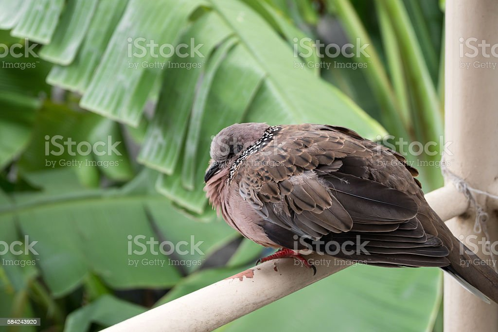 Spotted turtle dove sitting on balcony stock photo