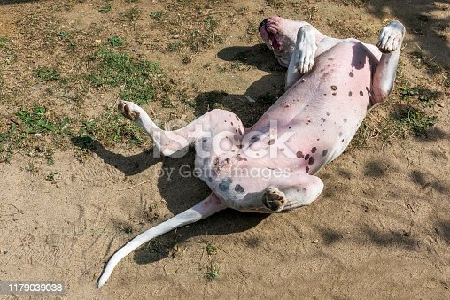White Dogo Argentino dog laying and sleeping like dead on soil ground.