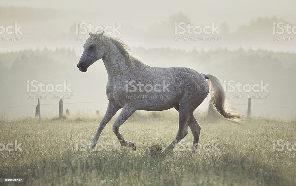 Spotted white horse running through the meadow royalty-free stock photo