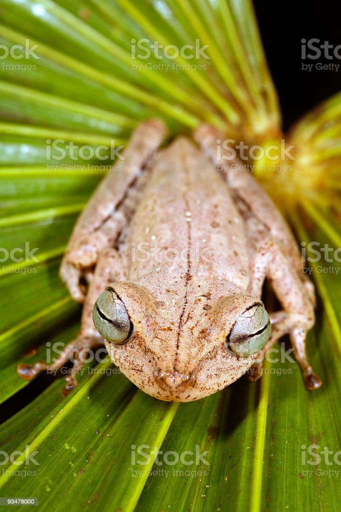 Spotted-thighed treefrog (Hypsiboas fasciatus) stock photo