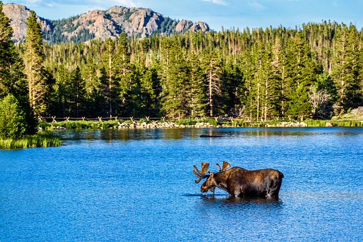 Bull Moose, Rocky Mountain National Park, Colorado