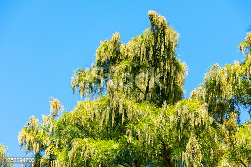 sprawling crown of an evergreen tree against a blue sky