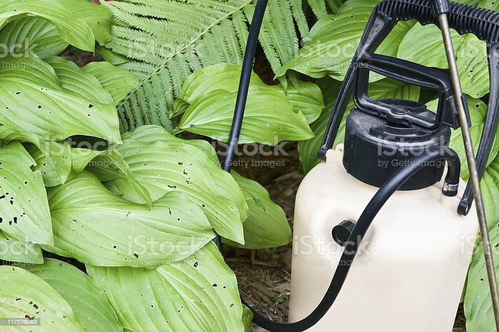 Spray Container of Insecticide and Damaged Hosta Plants royalty-free stock photo