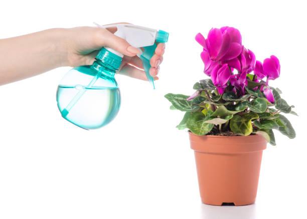 Pulverize com água para ciclâmen flores na mão - foto de acervo