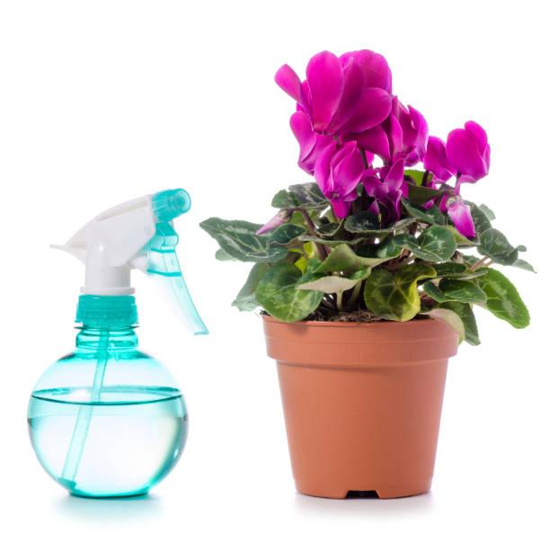 Spray com água para as flores ciclâmen isolado - foto de acervo