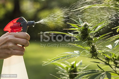 Watering marijuana plant by aerosol can