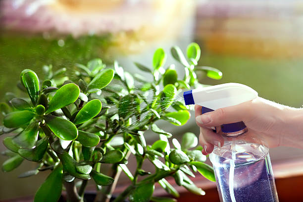 Spraying Crassula Ovata Spraying Crassula Ovata money tree stock pictures, royalty-free photos & images