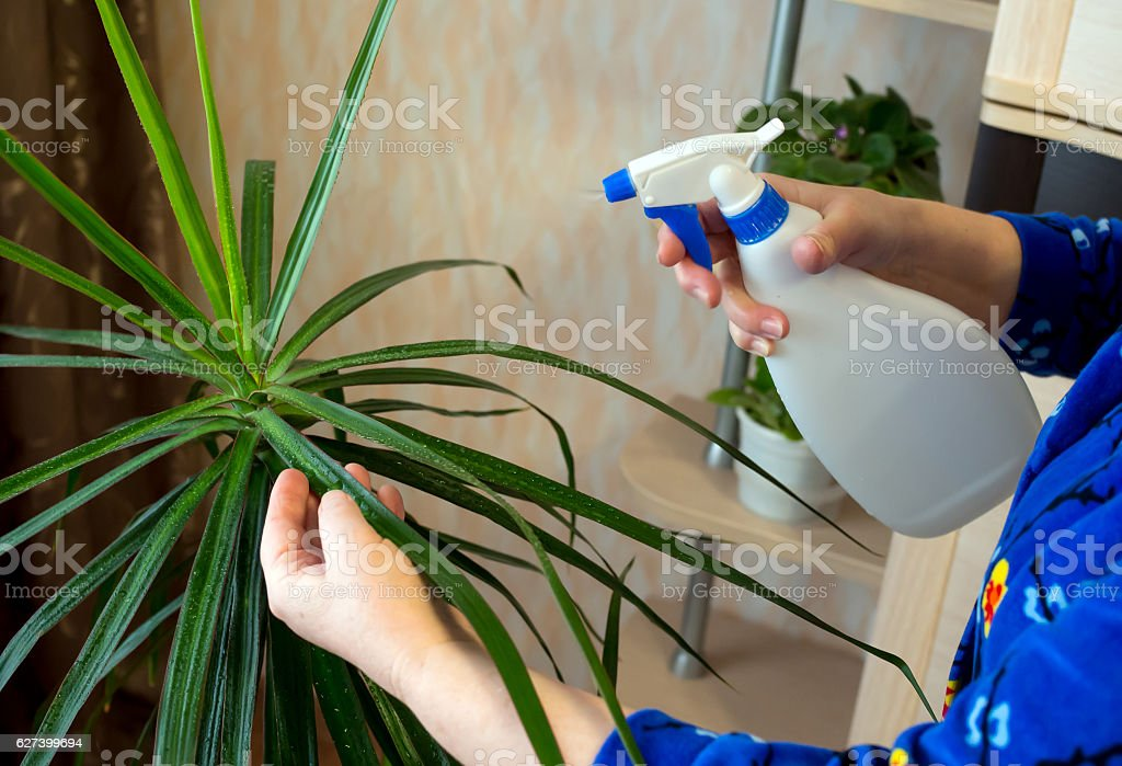 Spraying from the sprinkler of indoor plants stock photo