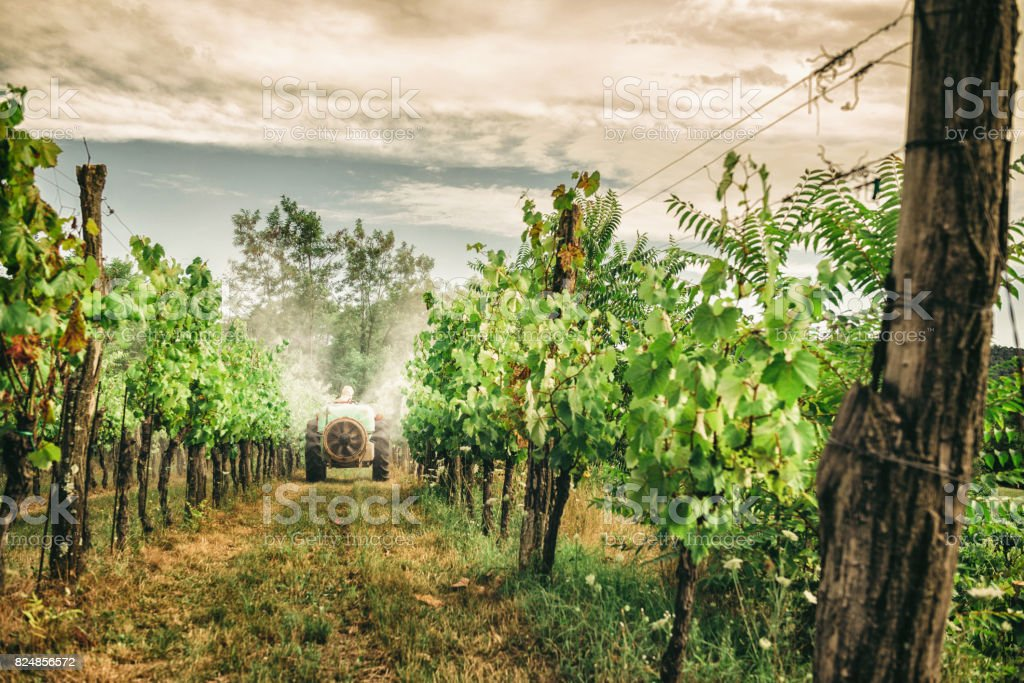 spraying grapevines in vineyard stock photo