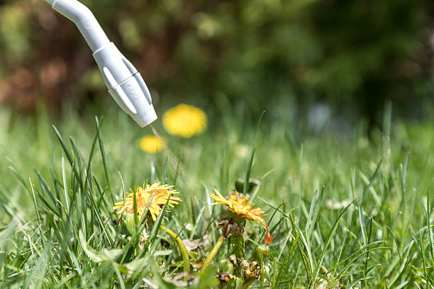 Spraying Herbicide on Dandelion stock photo