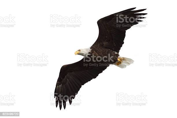Spread wing bald eagle soars across the sky picture id623499720?b=1&k=6&m=623499720&s=612x612&h=kzelx jjuaumk wtiiomid5akwkn7b1yqeq97hooqi0=