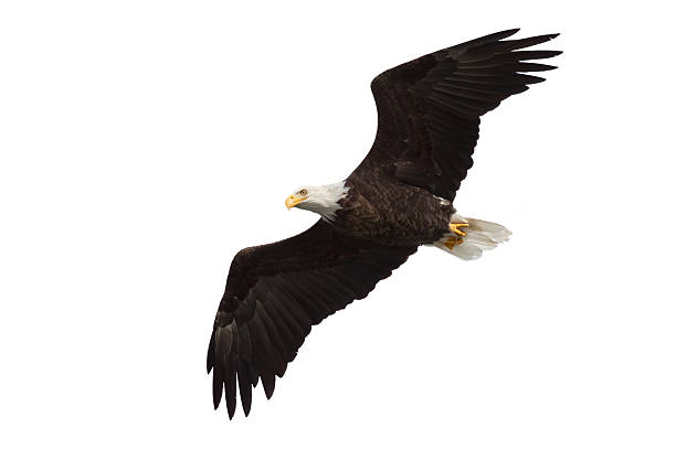 spread wing bald eagle soars across the sky stock photo