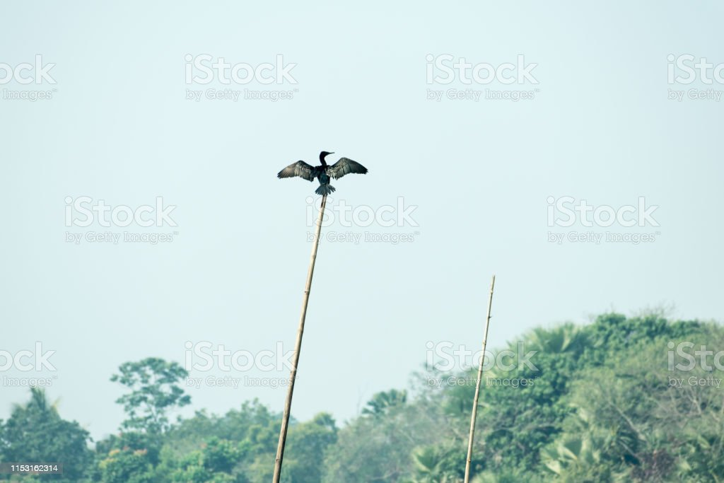 Spread wing Cormorant water bird or aquatic bird with small heads on...