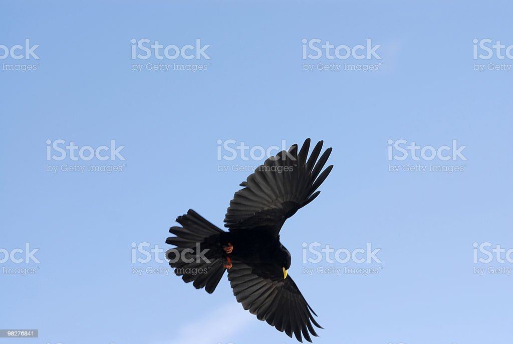 spread wings from a crow in flight royalty-free stock photo
