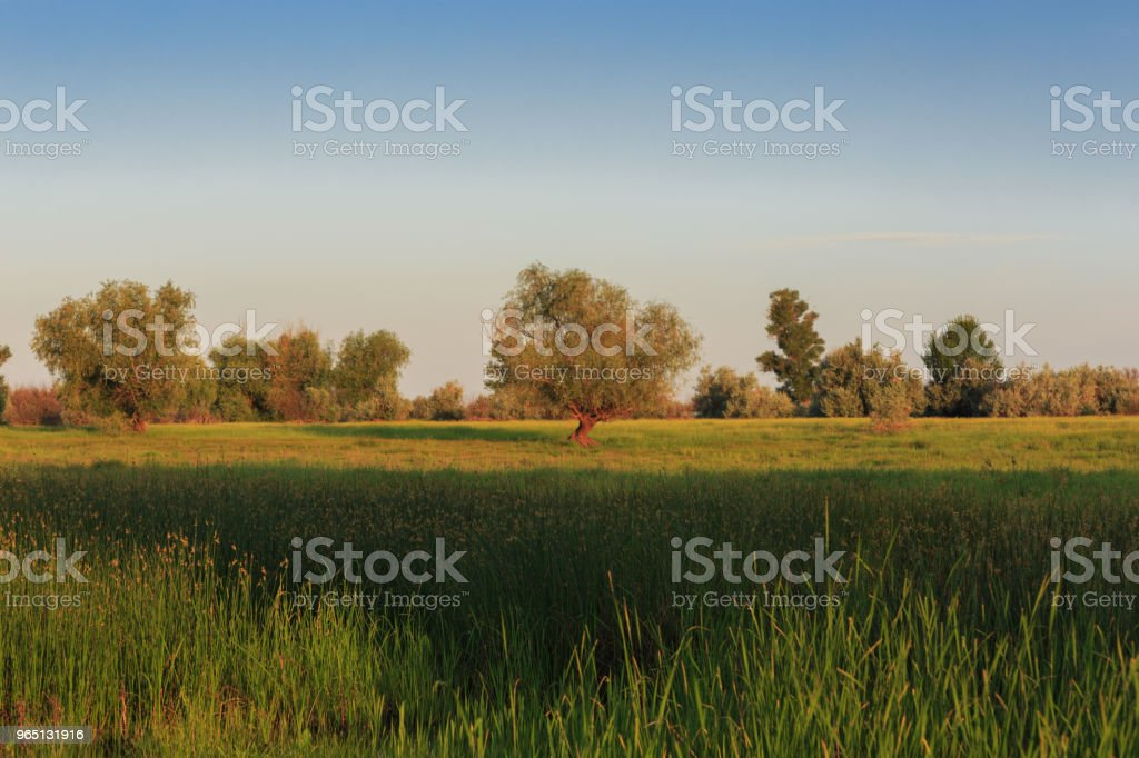 Spreading tree stands in the center of a green meadow. Green grass and blue sky in the early morning royalty-free stock photo