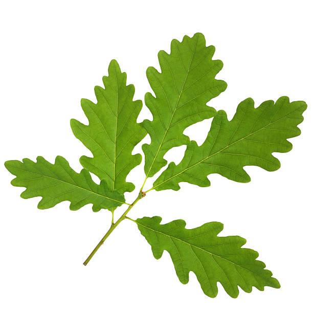 oak leaf zweig - eichenblatt stock-fotos und bilder