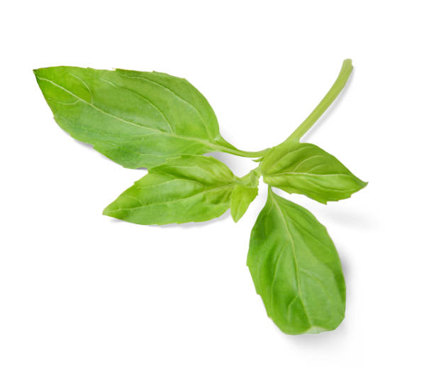 "Sprig of basil on white isolated background. Close-up. Top view.""n Sprig of basil on white isolated background. Close-up. View from above. basil stock pictures, royalty-free photos & images"