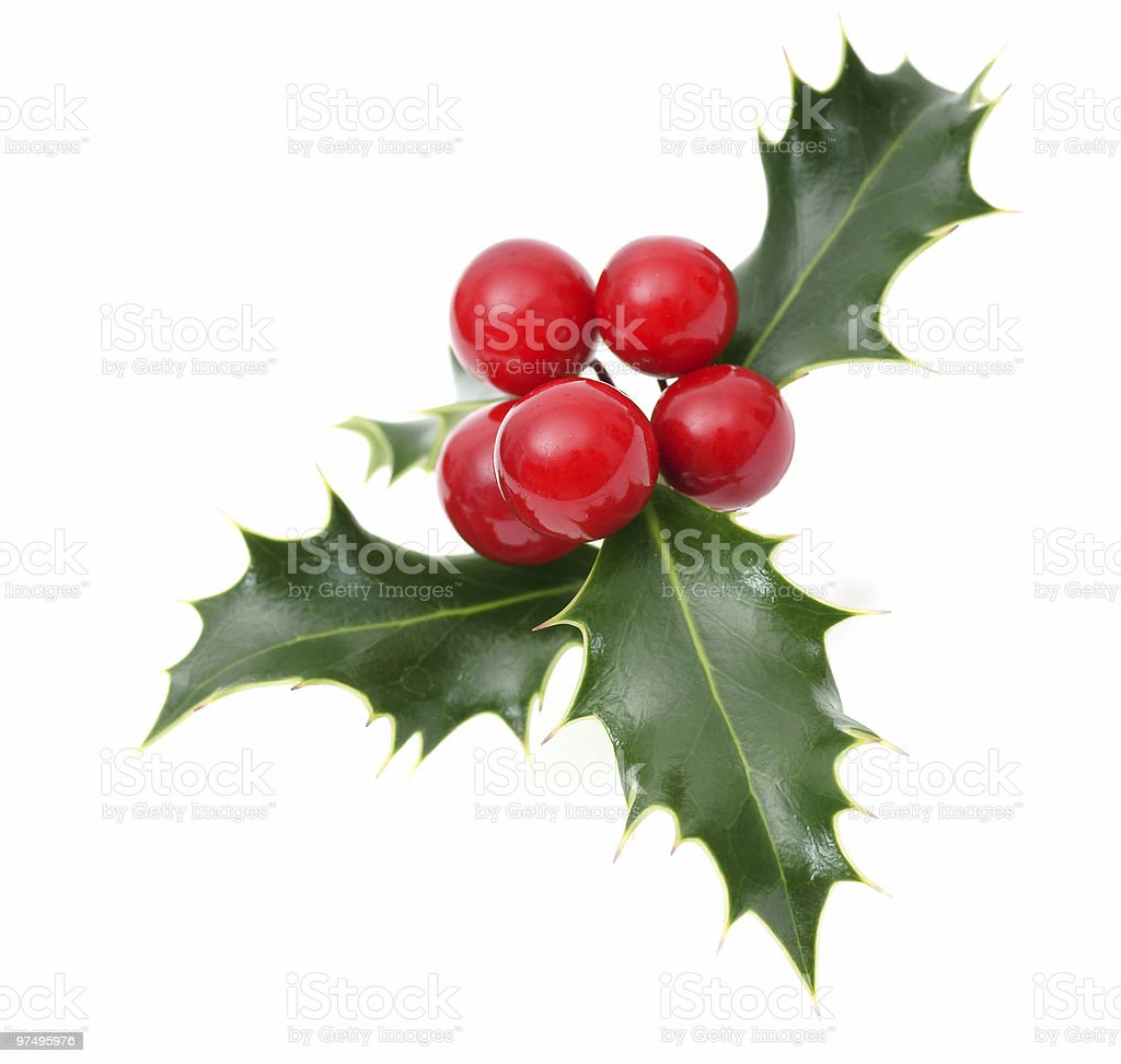 Sprig of European holly royalty-free stock photo