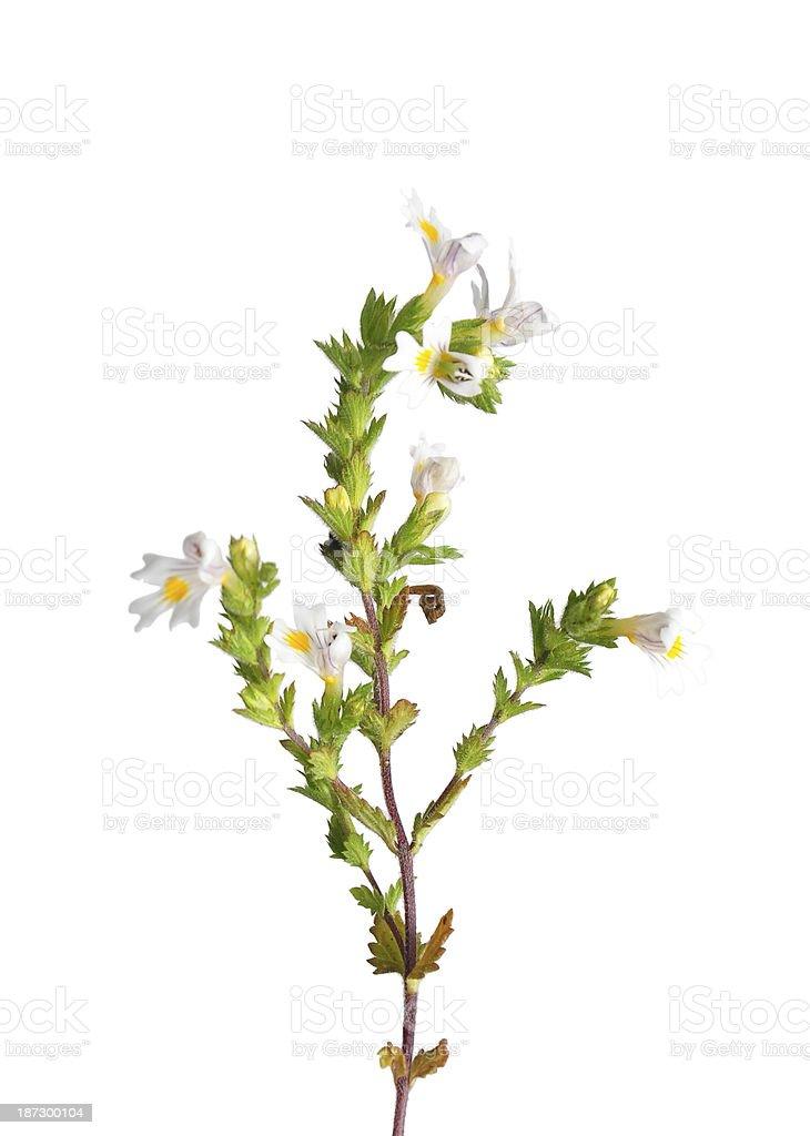 Sprig of Eyebright Euphrasia officinalis isolated on white stock photo