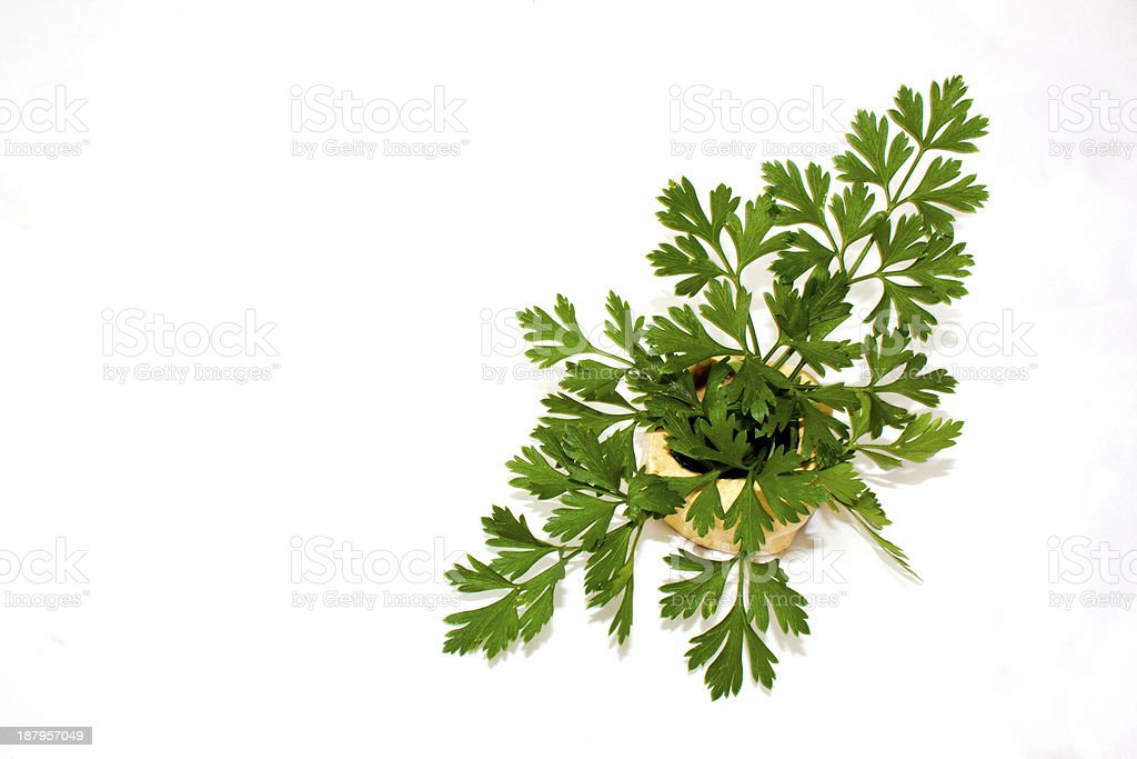 Sprig Of Flat Leaf Parsley In Clay Pot 2 stock photo